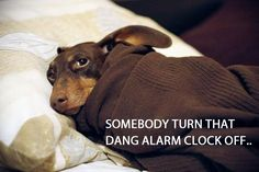 Not a morning Doxie! Lol. http://www.critterzoneusa.com/