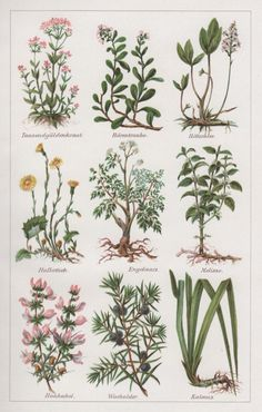 1920's Medicinal Plants, Antique Botanical Print, Botany Illustration, Phytotherapy, Centaury, Bearberry, Bogbean, Coltsfoot, Lemon Balm by Craftissimo on Etsy https://www.etsy.com/listing/248093243/1920s-medicinal-plants-antique-botanical