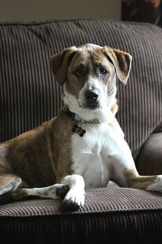 Meet Zayle our newest foster.  He was an owner surrender due to a divorce.  He is considered a Heinz 57, but very handsome!  I think he is very happy to be in our home where he can play with the other dogs and lay around in his dog bed.  He is still looking for his fur-ever home.