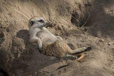 Laid back #meerkat