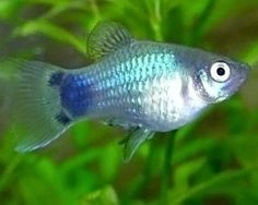 Blue Mickey Mouse Platy - maybe next time Tropical Freshwater Fish, Tropical Fish Tanks, Tropical Aquarium, Freshwater Aquarium Fish, Home Aquarium, Aquarium Fish Tank, Aquarium Ideas, Platy Fish, Pets