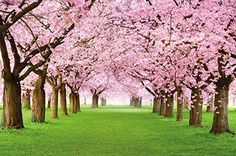 Cherry Tree Photo Wallpaper - Forest with Cherry Trees - Spring Pink Wallpaper Mural - Trees Forest Wall Decoration By Great Art, http://www.amazon.com/dp/B00O7TQ7L6/ref=cm_sw_r_pi_awdl_LpE6ub0PK0VWT