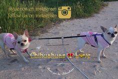 Chihuahuas Love - Artículos Sobre Chihuahuas Compartidos Redes Sociales. Blog Chihuahuas.