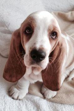 #Bassett #Hound Puppy