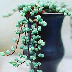 Lampranthus maximiliani
