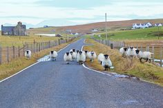 The local sheep taking over the road, Isle of Harris, Outer Hebrides