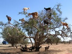 Perhaps you've seen goats can climb mountains and impossible rocks, but have you seen goats on top of the tree? Well, these are from Morocco and climb some special trees ... :))