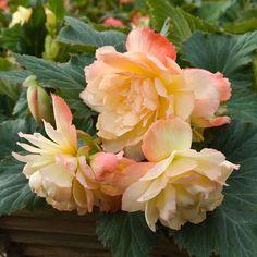 Begonia Scentiment® Sunrise
