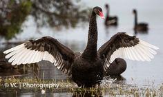 Black Swan@Herdsman Lake, Perth