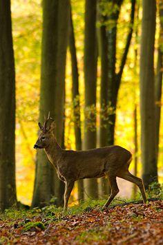 Roe buck in autumn woods