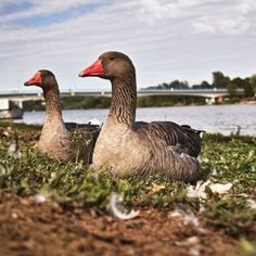 raising geese