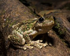 Emerald-spotted Tree Frog (Litoria peronii) by Tim Hackwood on 500px
