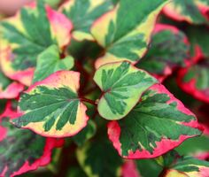 Earns its name through its variegated red, green and yellow foliage. A brilliant shrub for ground cover; likes moist soil in either sun or shade. Wholesale Nursery, Red Green, Yellow, Autumn Garden, Chameleon, Garden Inspiration, Shrubs, Plant Leaves, Sun