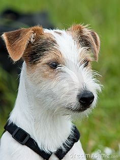parson russell terrier info | Parson Russell Terrier Stock Images - Image: 13819024