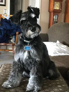 Maybe you've just adopted a Schnauzer into your family and don't know what to call them yet. If you're looking for the best name for a Schnauzer dog, you've come to the right place! Here are 30 of the best sweet names for Schnauzer dogs! Schnauzers, Schnauzer Breed, Schnauzer Grooming, Standard Schnauzer, Miniature Schnauzer Puppies, Schnauzer Puppy, White Miniature Schnauzer, Black Schnauzer, Best Dog Names