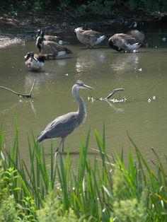 #Conservation #Nature #Outdoors #Wildlife #BlueHeron #Bird #Hamilton #HCA
