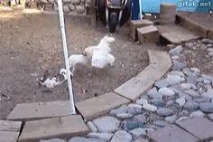 Las gallinas policías de la granja deteniendo una pelea entre conejos