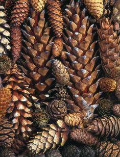 Brown:  #Brown cones.