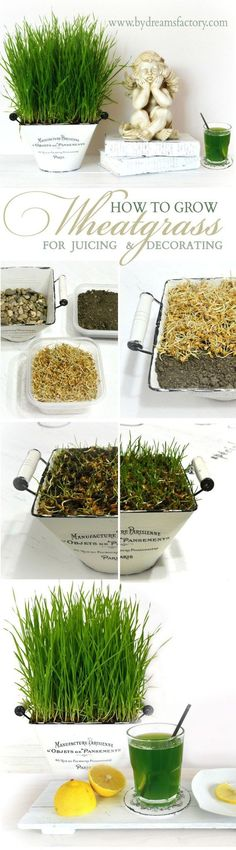 Grow wheatgrass by following this waterproof method in only a few days and use it for juicing and decorating - Dreams Factory