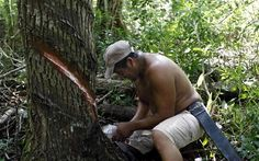 Mayan Indian Pedro Chuc May collects sap from a gum tree in Betania, Mexico