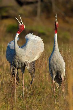 Sarus crane, Grus antigone