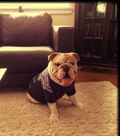 English Bulldog!!