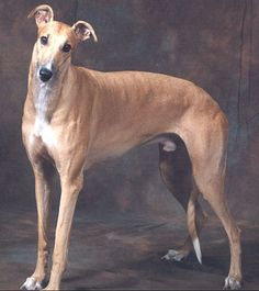 Greyhound-tall, lean sight hound is the fastest breed of dog. Sweet, low maintenance, social dog that requires leash or fence because you'll never catch this super athlete once he's on the run!