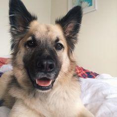 Can't wait to get my paws in the park  #declandog #sundaystroll  #breakfastinbed #instagsd #dogsofinstaworld #dogscorner #dailybarker #sendadogphoto #dog_features #dogs #germanshepherd #gsd #gsdlove #dogsofinstagram #dogsandpals #lovedogs