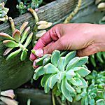 How to use succulents