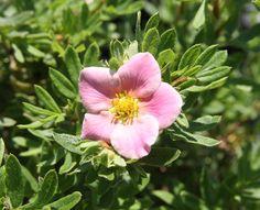 POTENTILLA fruticosa PINK PARADISE ® 'Kupinpa' cov Plants