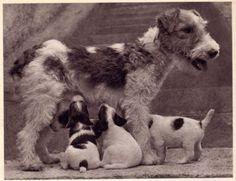 Dog Fox Terrier Wire Handsome Portrait Nice 1941 Print