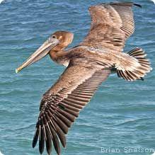 Eastern Brown Pelican - Louisanna