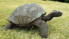 Tartaruga gigante continua ativa com mais de 160 anos | Quem Inova