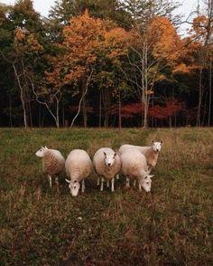 Sheeps | Fall