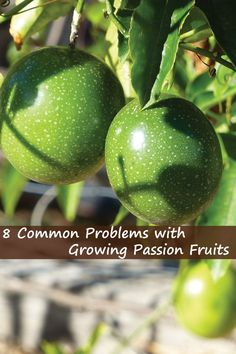 Like with personal problems, passion fruit growing problems are widespread. There are so many Agribusiness entrepreneurs and gardeners out there but very Growing Passion Fruit, Passion Fruit Plant, Fruit Plants, Fruit Garden, Fruit Trees, Herbs Garden, Plant Zones, Gardening Tips, Vegetable Gardening