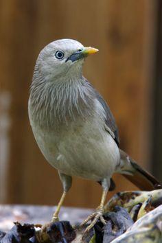 Chestnuttailed Starling Kinds Of Birds, All Birds, Love Birds, Most Beautiful Birds, Beautiful Pictures, Eurasian Magpie, Crazy Bird, Funny Birds, Starling
