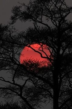 .Harvest moon through tree branches