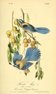 Florida Jay. The birds of America : from drawings made in the United States and their territories v.4. New York :J.B. Chevalier,1840-1844. biodiversitylibrary. Biodiversitylibrary. Biodivlibrary. BHL. Biodiversity Heritage Library