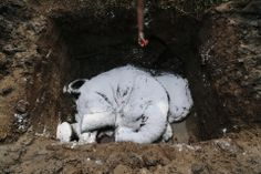 ELEPHANT BURIAL: A villager offered flowers to a dead elephant that had been covered with salt in a pit near Gauhati, India, Friday. The fem...