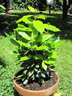 how to grow bay laurel in pot
