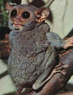 Tarsier, small animal with enormous eyes.