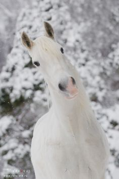 White horse by ~Vikarus All The Pretty Horses, Beautiful Horses, Animals Beautiful, Cute Animals, Zebras, Campolina, All About Horses, Majestic Horse, Horses And Dogs
