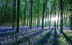 Glorious bluebell woodland, my puppy used to love it... I miss him :(