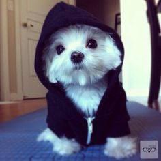 Button eyed Maltese puppy with a hoodie on. Cute Little Puppies, Cute Dogs And Puppies, Baby Dogs, I Love Dogs, Doggies, Cute Funny Animals, Cute Baby Animals, Animals And Pets, Dog Pictures