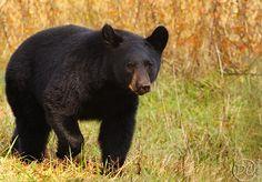 An Autumn Bear: An Autumn Bear