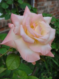Princess Diana Rose  Modern Hybrid Tea