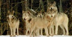 wolvenroedel
