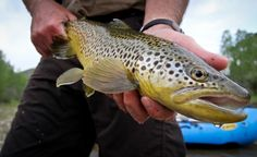Now that's a beautiful brown trout