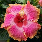 Tropical Hibiscus 'Spring Fever'