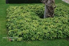Pachysandra terminalis.  Ground cover. Block planting can be cut to create sharp curves or strong geometric lines.